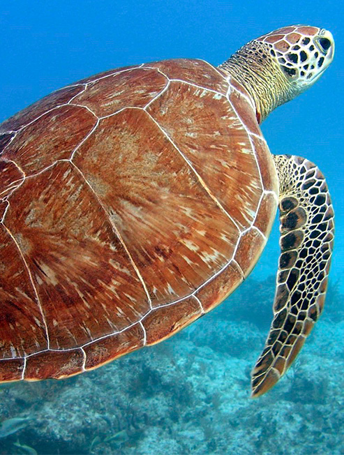 Turtle Underwater at Moreton Island